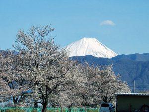 山伏川桜並木からの富士