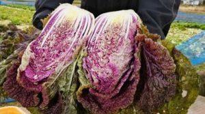 紫ハクサイ