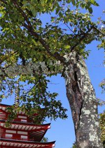 幹に空洞があるソメイヨシノ。忠霊塔周辺で樹勢の衰えが目立つ木が増えている=富士吉田・新倉山浅間公園