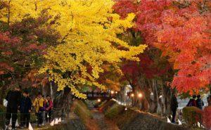 見頃を迎えた「もみじ回廊」のモミジ=富士河口湖町河口