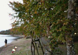 緑色の葉が目立つ「夕焼けの渚・紅葉祭り」の会場=山中湖村平野