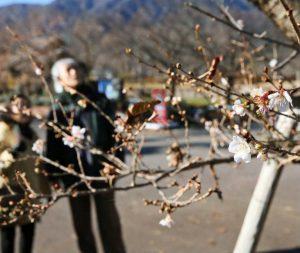 季節外れの花を咲かせた八木崎公園の桜=富士河口湖町小立