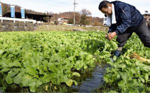湧水を引いた畑で、水掛け菜を収穫する斉藤愛夫さん=都留市十日市場