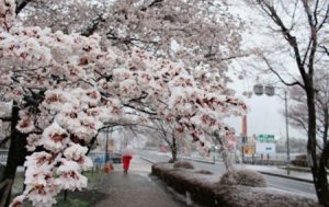 雪が降り積もった桜=富士河口湖町河口