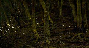 黄金色の光を明滅させながら森を舞うヒメボタル(約4分露光)=足和田山塊