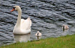 親鳥を追いかけて泳ぐひな=富士河口湖・八木崎公園