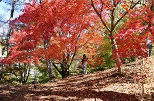 楽山公園の遊歩道を赤く染めるモミジ=都留市田原3丁目
