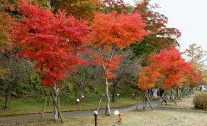 赤色に染まるモミジ=山中湖村平野