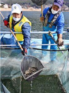 河口湖に仕掛けた定置網からワカサギを水揚げする漁師=河口湖