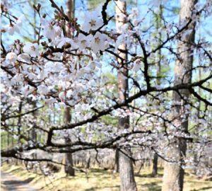 見頃を迎えたフジザクラ=富士吉田市上吉田(4月20日撮影)