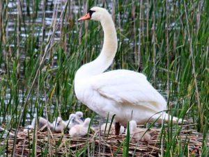 河口湖で誕生したひなと親鳥=富士河口湖町