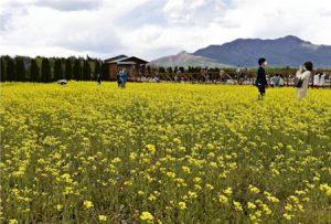 見頃を迎えた菜の花=山中湖・花の都公園(5月3日撮影)