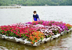 色鮮やかなサンパチェンスを山中湖に浮かべるNPOのメンバー=山中湖村山中