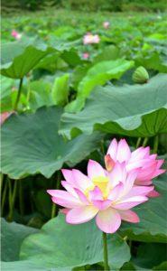 見頃を迎えたハスの花=富士吉田・明見湖公園